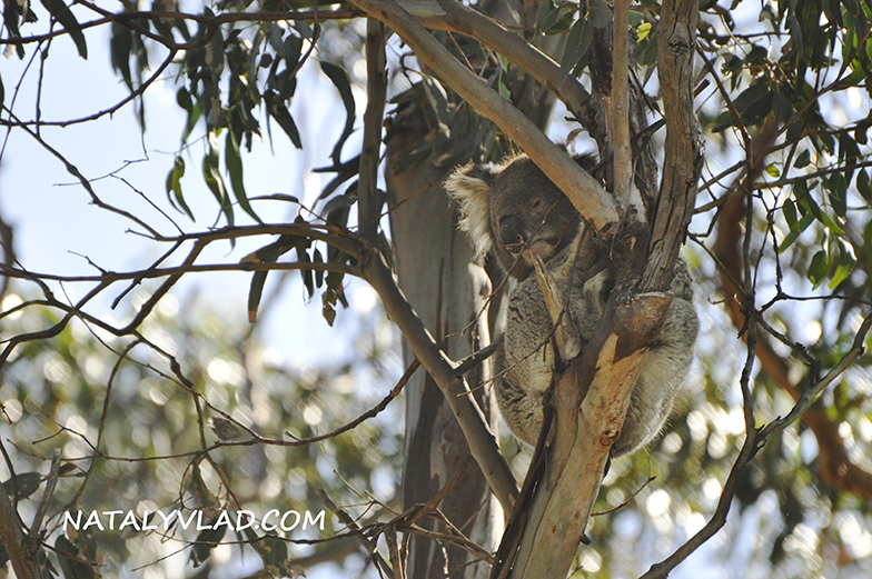 2012-11-11 - Koala in Lorne, Great Ocean Road, Victoria, Australia