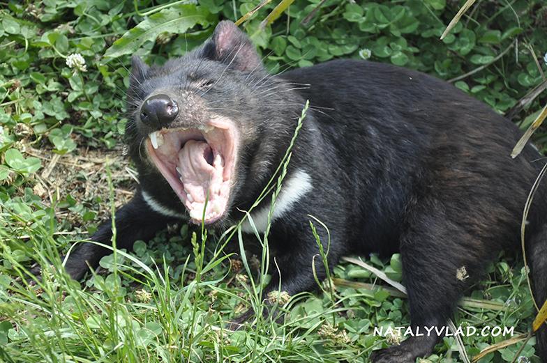 2013-01-05 - Tasmanian devil, Tasmania Zoo, Launceston, Tasmania