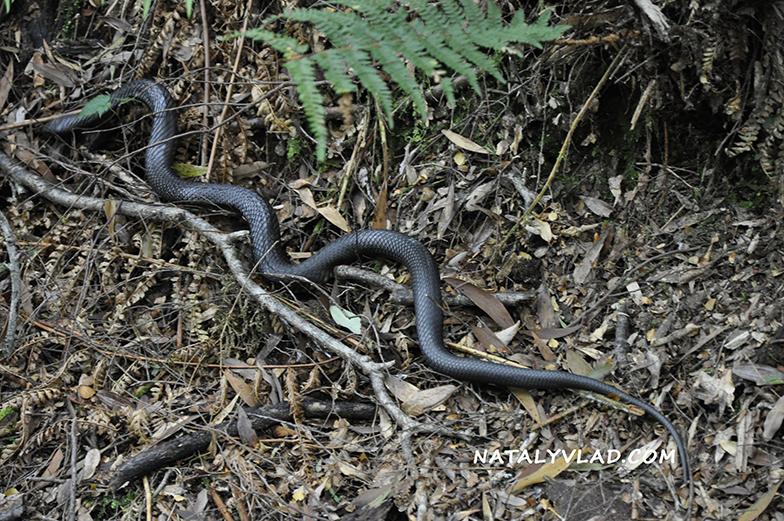 2012-12-27 - Tiger snake near Montezuma Falls, Tasmania, Australia