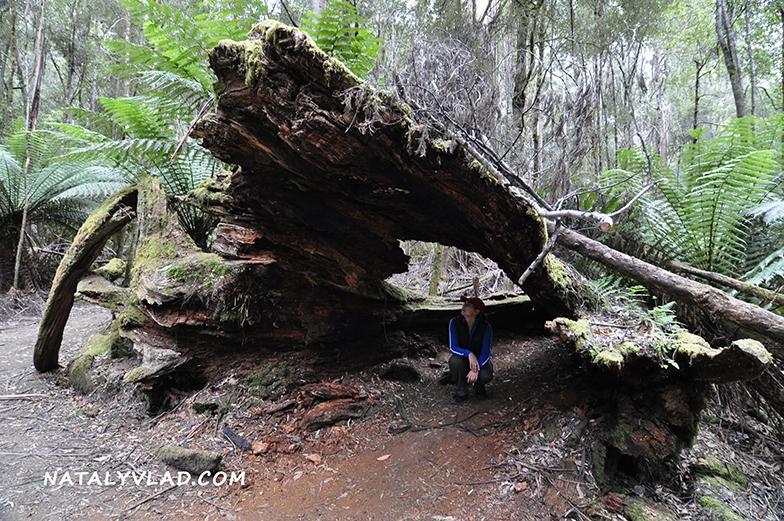 2012-12-31 - Tall Trees Walk, Mt Field National Park, Tasmania