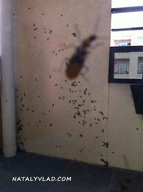 "2012-12-23 - Жуки - ""тараканы"" в Мельбурне, Австралия"