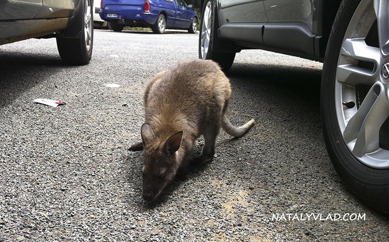 2013-01-02 - Валлаби на парковке, Wineglass Bay, Тасмания