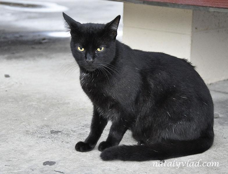 Black cat, Diamond Head, Honolulu, Oahu, Hawaii