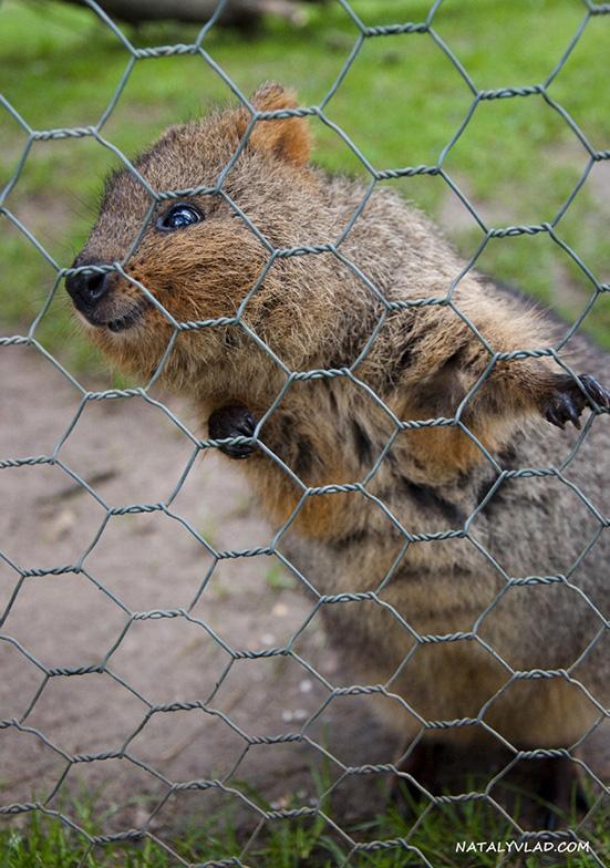 Кенгуру в Австралии   Парк дикой природы в Балларате