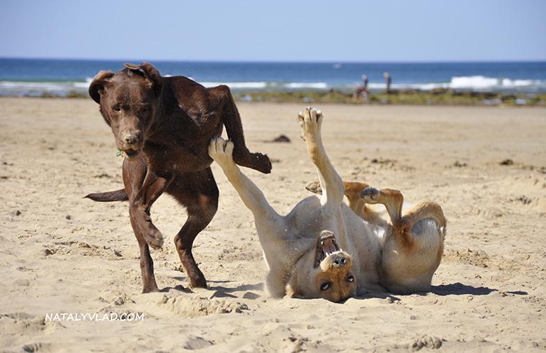 Собаки на пляже в Австралии