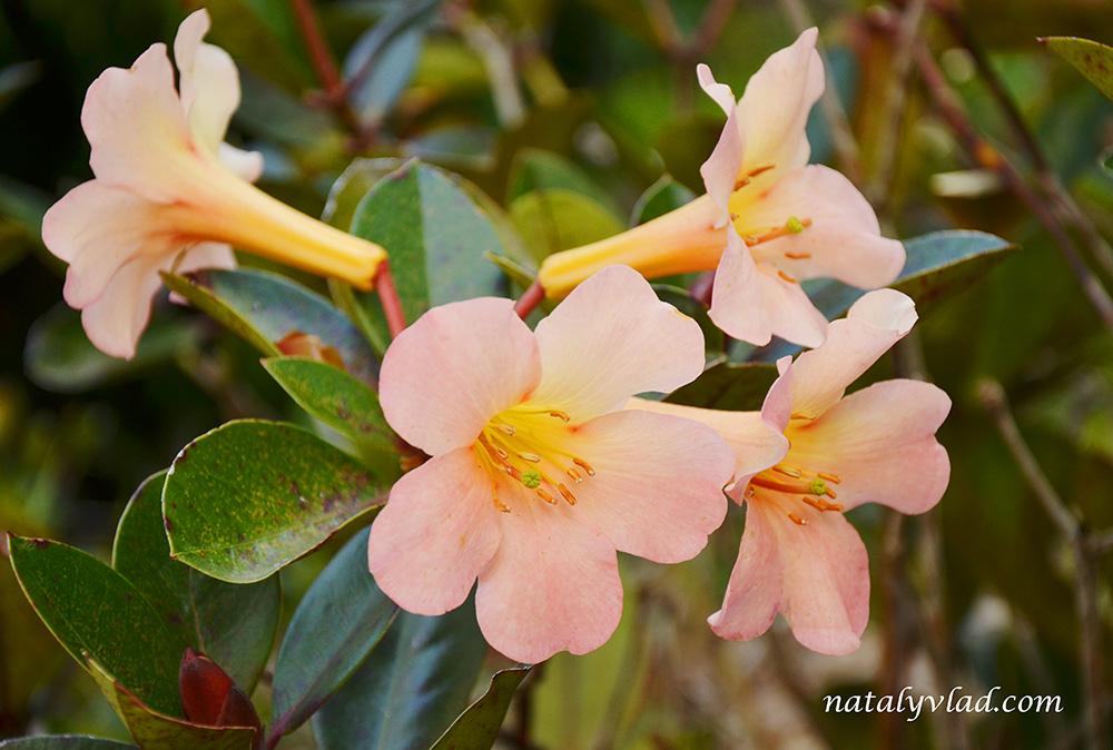 National Rhododendron Gardens, Dandenong Ranges, Australia
