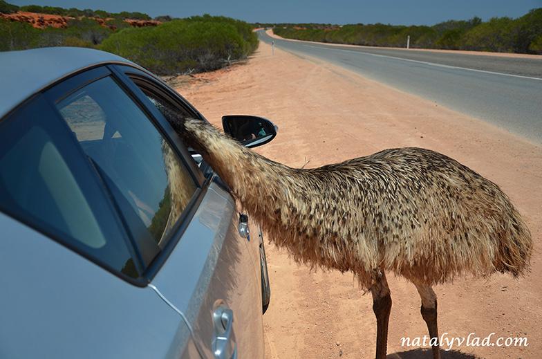 Emu, Monkey Mia, Western Australia