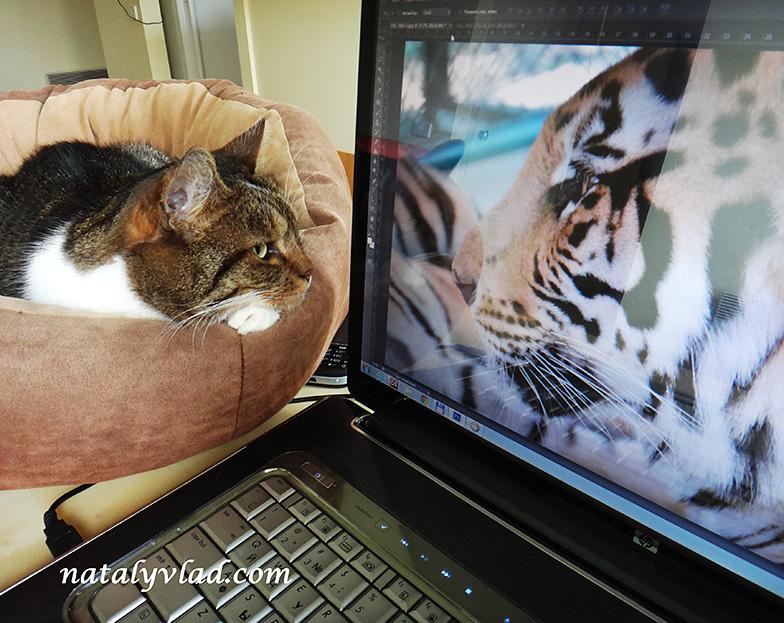Фото тигр и кот