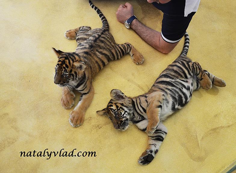 Тигры на Пхукете Тайланд