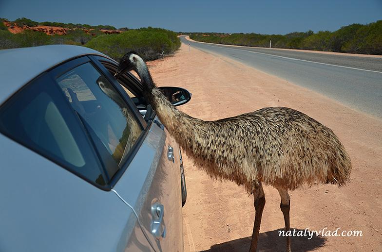 Эму в Австралии | Блог Наты и Тёмы