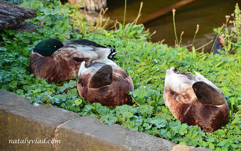 Утки, Трава, Вода   Блог об Австралии