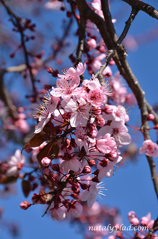 Вишня сакура в цвету лепестки розовые ветка небо