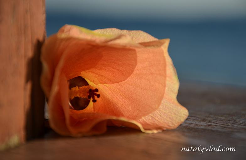 Отдых на Фиджи, Цветок на столе в лучах солнца