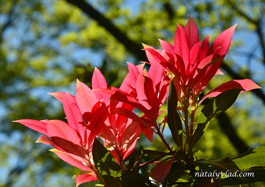 Сад рододендронов Данденонг Австралия