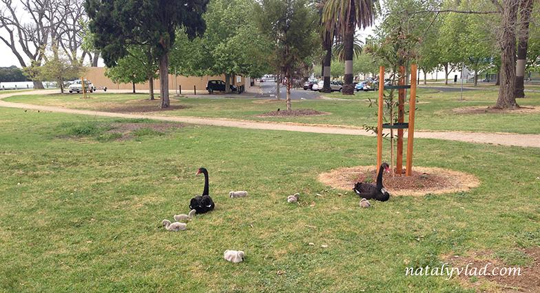 Черные лебеди с выводком в парке на лужайке