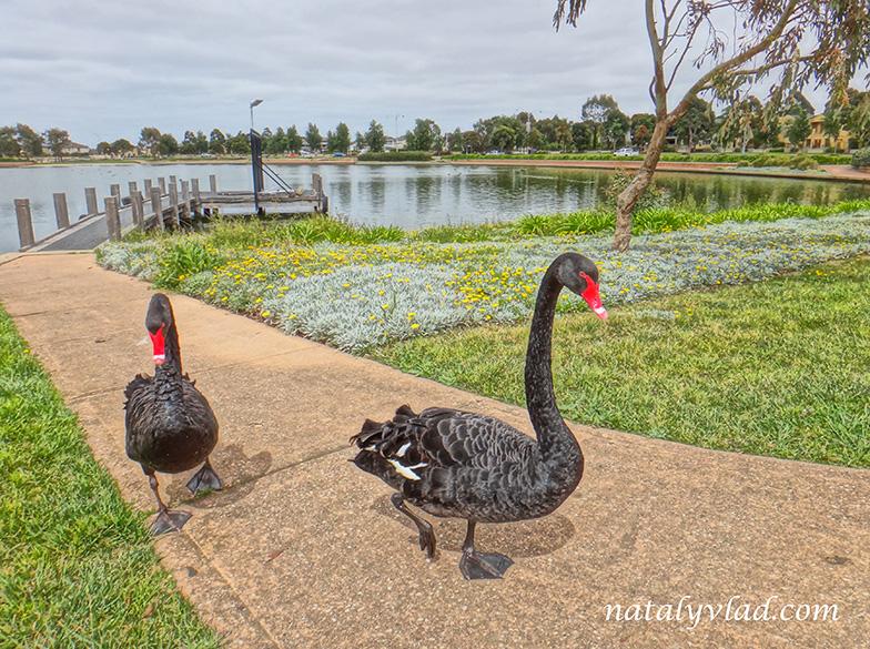 Жизнь в Австралии Озеро с черными лебедями