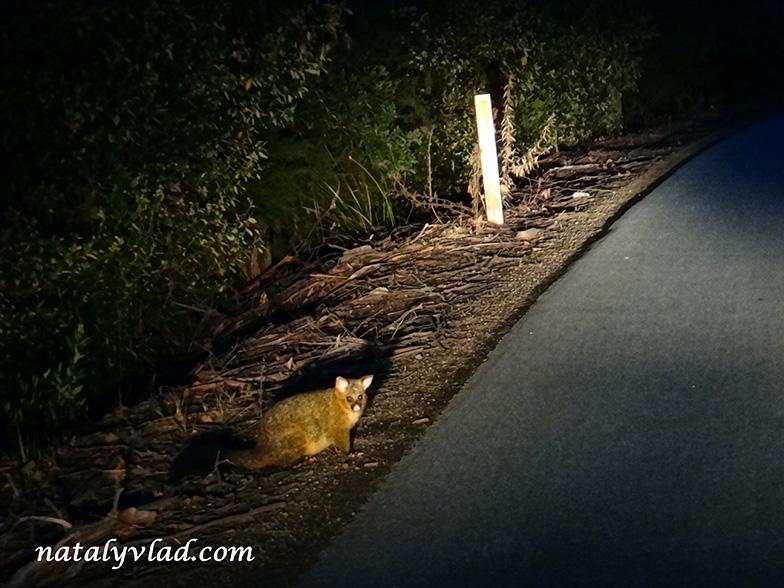 Животные на дорогах Тасмании