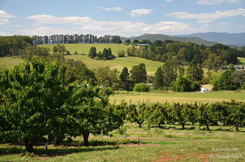 Вишневый фермы в Австралии Вишня и Черешня