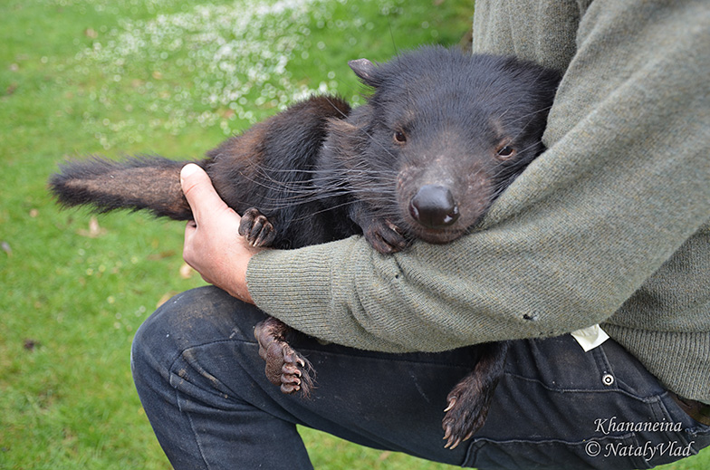 Тасманийский дьявол на руках у рейнджера
