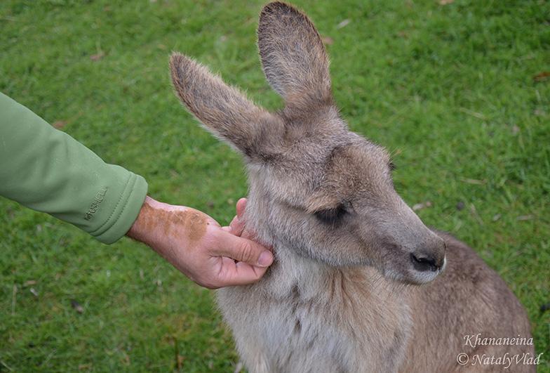 Погладить кенгуру в Австралии