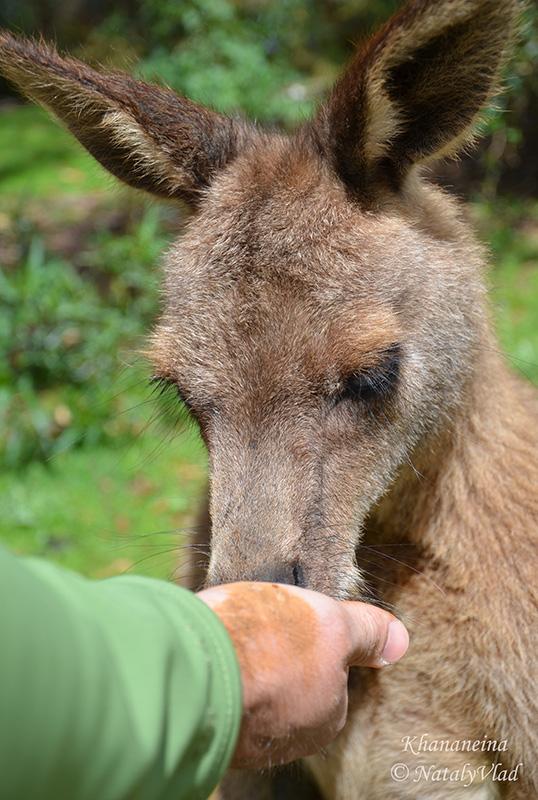 Покормить с руки кенгуру в Австралии