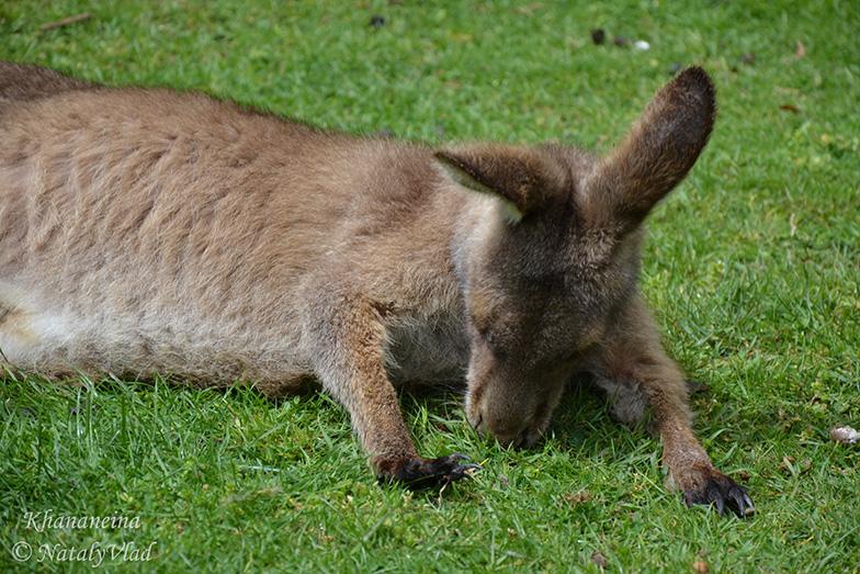 Кенгуру ест траву Австралия