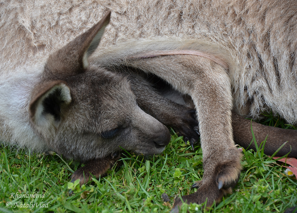 Маленький кенгуреныш в сумке кенгуру