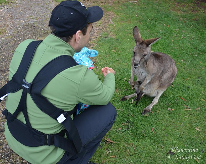 Покормить кенгуру с рук в Австралии