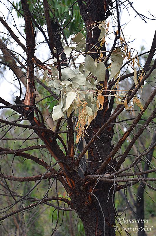 Австралия Деревья после пожаров