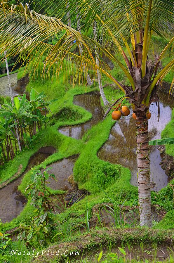 Отдых на Бали Рисовые террасы